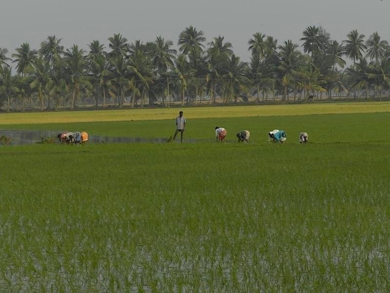 Reisanbau Indien